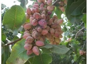 disclosure-page-pistachio-harvest