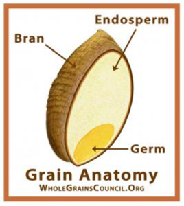 Grain+anatomy