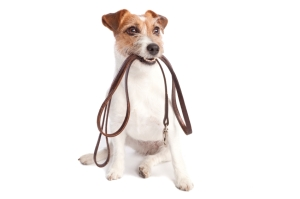 isolated jack russell terrier holding leather leach over white background