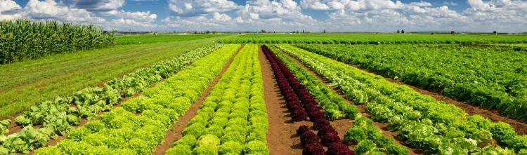 veggies in field